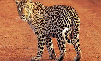 Bardia Tiger at National Park Jungle Safari
