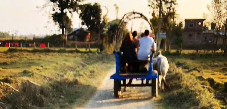 ox cart ride chitawan Ox ride activity in Chitwan